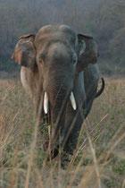 Wilde Asiatische Elefanten bewohnen Graslandschaften, tropische immergrüne und laubwechselnde Wälder, auch Sekundärwälder und Buschland. Das Tier wandte sich um kam direkt auf uns zu. Der Fahrer verschob den Jeep, um den Weg über die Strasse freizugeben.