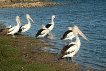 """Da sind wir in """"American River"""" einer Stadt mit 226 Einwohnern auf Kangaroo Island. Der Name stammt von amerikanischen Seeleuten, welche 1803 aus lokalem Holz ein eigenes Schiff bauten. Die Vögel sind Australische Pelikane (Pelecanus conspicillatus)."""