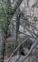 Dieses Europäische (oder Gewöhnliche) Chamaeleon (Chamaeleo chamaeleon) war In einem kleinen Busch bei einem ausgetrockneten Bachbett. Es ist normalerweise hell- oder olivgrün, mit zwei unregelmässigen, weissen Längsbändern, aber kann seine Farbe wechseln