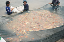 Jungfische auf einer Koi-Farm