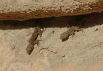 """In den Felswänden im Eingangsbereich des Sik entdeckten wir auch diese Geckos (Art unbekannt). Der """"Sik"""" ist eine etwa 1,2 km lange Felsschlucht die an der engsten Stelle nur etwa 2 m breit ist. Er bildete den wichtigsten Zugang zur antiken Stadt Petra."""