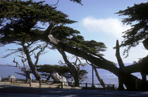 "Der 17-Mile Drive bei  Monterey im Süden von San Francisco öffnet immer wieder Ausblicke auf pittoreske, mediterrane Küstenlandschaften, einschliesslich ""Cypress Point Overlook"", ""The Lone Cypress"", ""Bird Rock"" oder ""Seal Rock"" (s. auch Galerie USA III)."