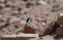 Als insektenfressender Vogel des offenen Geländes hält dieser Schwarzrückensteinschmätzer (Oenanthe  monacha) von seiner Warte aus Ausschau nach Nahrung.