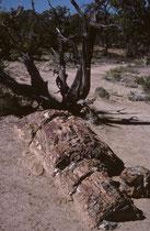 Der 5463 km2 grosse Escalante Petrified Forest State Park in Utah liegt westlich des Bryce Canyon NPs. Er wurde 1976 geschaffen. Die Besucher können das Gebiet auf festgelegten Pfaden durchstreifen. Man sieht dort ganze versteinerte Baumstämme.