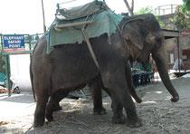 Nach dem Ausritt konnten sich die Elefanten an einem schattigen Platz ausruhen und fressen. Die Kosten für uns beliefen sich auf 1000 Rupien pro Person (ca. 15.- Fr.). Man beachte, dass die Tiere nicht angekettet sind, sondern stets beaufsichtigt werden.