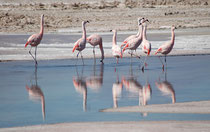 Als wir in der Salar der Atacama waren, sind die Flamingos recht übertrieben herumgestelzt. Wir hatten den Eindruck, es halte sich um irgend ein Paarbindungs- oder Balzverhalten.