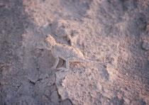 In der Trockenzeit können nur wenige Tiere in dem tagsüber heissen und trockenen Klima der Salzpfanne überleben. Wie stiessen durch reinen Zufall auf eine wirkliche Kostbarkeit: Die endemische Makgadikgadi-Stachelagame (Agama hispida makgadikgadiensis).
