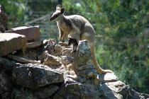 Das im südlichen und östlichen Australien beheimatete Gelbfuss-Felsenkänguruh (Petrogale xanthopus), hier in Zoo von Adelaide, gilt als eines der farbenprächtigsten Kängurus. Bis 1920 wurde es wegen seines Pelzes bejagt, heute steht es unter Schutz.
