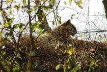 """Am 9. April sahen wir unseren letzten Tiger auf dieser Reise. Es war """"Sharmelee"""", """"die Scheue"""". Sie ist eine bekannte Tigerin im Corbett NP, weil sie sehr ortsfest ist und man gute Chancen hat, ihr in ihrem Wohngebiet zu begegnen."""