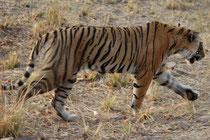 """Hier geht """"Arrowhead"""" an uns vorbei. Die beiden """"Pfeilspitzen"""" sind gut erkennbar. Aktualisierte Informationen über die Tigerpopulation im Ranthanbore NP erhält man übrigens auf der Webseite https://www.ranthambhoreguides.com/tigers."""