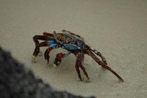 """Die Rote Klippenkrabbe ist sehr flink, wendig, schnell und schwierig zu fangen. Zudem geht sie auf Zehenspitzen. Kein Wunder wird sie auch """"Sally Lightfoot crab"""" genannt."""