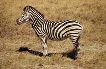 Auch Steppenzebras gab es natürlich im Moremi Game Reserve zu sehen. Hier ein prächtiger Hengst, der Unterart Equus quagga burchelli, also Burchells Zebra.