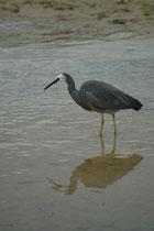"""Weiter auf dem """"Princess Hwy"""" kamen wir nach Port Fairy, wo man die kleine Insel Griffith Island besuchen kann. Es können dort 80-90 Vogelarten gesehen werden. Hier ein Weisswangenreiher (Egretta novaehollandiae), der in Südostasien beheimatet ist."""
