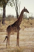 Ein anderes Exemplar, praktisch an derselben Stelle. Obwohl sie fast die Zeichnung einer Netzgiraffe hat (die eigentlich in Nordkenia beheimatet ist), gehört sie ebenfalls zur Unterart Giraffa camelopardis giraffa, also der Südafrikanischen Giraffe.