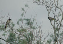 """Bei der Taufstelle Bethanien sahen wir im Tamariskenwald - neben dem Moabsperling (Passer moabiticus) und dem Stentorrohrsänger (Acrocephalus stentoreus) - diese beiden Gelbsteissbülbüls (Pycnonotus xanthopygos). (""""Bülbül"""" bedeutet Nachtigall)."""
