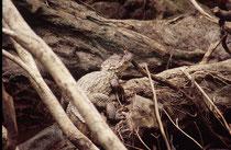 Der Brillenkaiman (Caiman yacare) wird maximal nur ca. 2,70 m gross, gehört also eher zu den kleineren Krokodilen. Er ernährt sich von Fischen, andere Reptilien, Amphibien und Wasservögeln. Er verlässt das Wasser nur selten (z.B. bei Trockenheit)