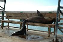 In Puerto Ayora auf Santa Cruz schifften wir uns auf die schwimmende Behausung für die nächsten Tage ein. Am Quai war es unmöglich, sich auf der Bank auszuruhen. Sie war bereits besetzt  und zwar von einer Galápagos-Seelöwen-Mutter (Zalophus wollebaeki).