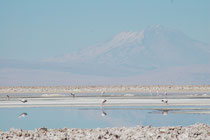 Innerhalb der Salar de Atacama befindet sich das 740 km2 grosse Naturreservat Los Flamencos National Reserve. Neben vielen anderen interessanten Tieren, kann man dort, wenn man Glück hat, alle drei in Chile lebenden Flamingoarten sehen.
