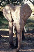 Die beiden jüngeren Bullen schüttelten mit ihren Köpfen die Bäume und es fielen kleine, reife Früchte auf den Boden, welche diese Elefanten voll konzentriert eine um die andere mit dem Rüssel sammelten und in den Mund steckten.