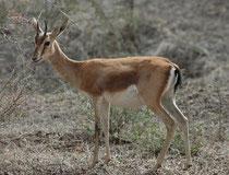 Indischen Gazellen können in Gruppen aber auch einzeln angetroffen werden. Während die Hörner der Männchen ca. 20 cm lang werden, sind diejenigen der weiblichen Tiere bedeutend kleiner. In Indien leben noch ca. 100'000 Exemplare (in 89 Schutzzonen).