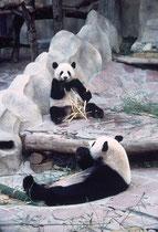 Pandas im Zoo von Chiang Mai. Ihre Hauptbeschäftigung ist das Verzehren von Bambus. Die Tiere leben in einem vollklimatisierten Gebäude in einer künstlich gestalteten Gebirgslandschaft, reichlich luxuriös, im Vergleich zu den übrigen Gehegen des Zoos.