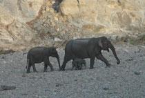 Die gesamte Population Asiatischer Elefanten ist ca. 50% kleiner als vor 60 bis 75 Jahren und nimmt weiterhin ab (Zerstörung und Zersiedelung des Lebensraumes). Eine Herde zu sehen, in der kleine Elefäntlein aufgezogen werden, ist deshalb sehr erfreulich.