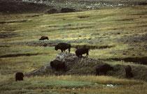 Zwei Mal schon (1963, 1966) hatte ich den Yellowstone NP besucht, und nie Bisons (Bos bison) gesehen. Im Jahr 1982 entdeckten wir eine grössere Herde bei einem Ausflug ins Hayden Valley (Benannt nach dem amerikanische Geologen Ferdinand Vandeveer Hayden).