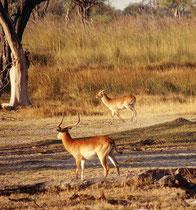 Nein, das waren keine Impalas, sondern zwei Böcke der selteneren Art Kobus leche, also Letschwe-Wasserböcke (auch Litschi genannt) und zwar der Unterart Kobus leche leche, dem Roten Letschwe, von dem es ca. 30'000 im Okavangodelta gibt.