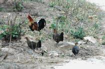 Der Revierruf des Hahnes ähnelt dem Krähen von Haushähnen - ein seltsames Erlebnis. Diese kleine Gruppe (Hahn mit drei unscheinbar gefärbten Hennen) verliess zur Nahrungssuche am späten Nachmittag die Deckung und konnte dann auf dem Weg beobachtet werden.