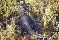 Unvorsichtige Parkbesucher, könnten unter Umständen sogar auf diesen im Strassengraben ruhenden Alligator treten. Die Tiere werden ca. 4,5 bis 5 m lang. Seit 1948, sind in Florida 257 Angriffe auf Menschen registriert worden (davon endeten 23 tödlich).