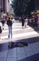 ...dieser Hund liegt mitten in der belebtesten Strasse Santiagos. Die Menschen tolerieren diese Hunde und gehen rücksichtsvoll um sie herum.