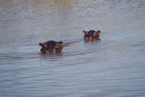 Im Khwai sahen wir auch wieder Flusspferde. Es ist erstaunlich, wie diese Tiere immer wieder Teiche und Flüsse - auch relativ abgelegene - besiedeln. Auf der Suche nach geeigneten Gewässern können sie viele Kilometer durch trockene Landschaft wandern.