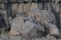 Die Jungen hielten es nicht lange allein im Versteck aus und kletterten vorsichtig der Mutter nach, bis auf den Grund des Flussbetts, wo sie sich erneut in Felsspalten und hinter Steinen versteckten (das zweite Junge liegt in der Spalte rechts unten).