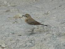 Der Mittelmeersteinschmätzer (Oenanthe melanoleuca) zeigt, wie die meisten Vertreter der Gattung Oenanthe, bezüglich der Färbung einen sehr ausgeprägten Geschlechtsdimorphismus. Dieses Weibchen wurde am selben Standort fotografiert, wie das Männchen.