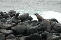 Galapagos-Seelöwen auf den Lavafelsen zusammen mit ein paar Sally Lightfoot-Krabben, die nicht gefressen werden. Die Seelöwen sind Fischjäger. Das Klimaphänomen El Niño kann deshalb zu Nahrungsmangel mit massiv erhöhter Mortalität führen.
