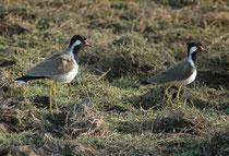 Ein schmuckes Paar Rotlappenkiebize (Vanellus indicus). Er brütet in Sumpfgebieten und entlang von Flüssen Das Nest wird gewöhnlich direkt auf dem Boden errichtet (Nestmulde) und befindet sich meist in Wassernähe. Beide Elternvögel brüten.