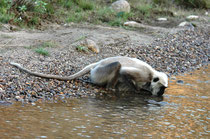 Auf Safari überquert man immer wieder Flussläufe (s. die Autospuren im Sand). Das bedeutet gleichzeitig, dass Safaritouren bei Hochwasser nicht möglich sind. Sowohl der Corbett, wie der Ranthambore NP werden demnach bei Monsun (Juli-Oktober) geschlossen.