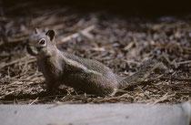 """Das im westlichen Nordamerika beheimatete Goldmantel-Ziesel (Callospermophilus lateralis) ist 25-30 cm gross und ernährt sich von Samen, Früchten, Nüssen und unterirdischen Pilzen. Es ähnelt den Streifenhörnchen (""""Chipmunks""""). Gesichtsstreifen fehlen aber"""