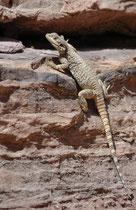 Die Rückenfärbung des Harduns ist hell- bis dunkelgrau, braun oder - bei starker Besonnung (!) - sogar fast schwarz. Die Zeichnung ist unregelmässig. In der Paarungszeit sind die Männchen recht auffällig rötlich oder orange gefärbt.