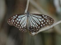 """Auch Schmetterlinge gab es zuhauf. Hier der """"Oriental Blue Tiger"""" (Tirumala limniace). Weil er (und die Raupe) über Pflanzensäfte Herzglykoside in seinen Stoffwechsel aufnimmt, ist er giftig und vor seinen  Fressfeinde (Vögel, Mäuse, Eidechsen) geschützt."""