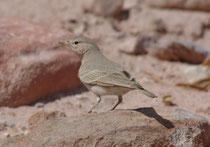Die Steinlerche (Ammomanes deserti) ist eine an Wüstenhabitate angepasste  Lerchenart. Sie ist in Nordafrika, sowie in  Vorder- und Zentralasien verbreitet. Das Gefieder gleicht in seiner Färbung dem sandigen Untergrund, auf dem der Vogel hervorragend get