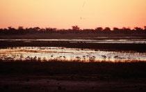 Blick auf den Chobe Fluss nach Sonnenuntergang. Im Vordergrund eine Schar Löffelreiher (Platalea leucorodia)