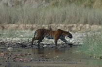 """Zusammen mit dem angrenzenden Sonanadi-Schutzgebiet bildet der Corbett NP das """"Corbett-Tiger-Reserve"""", das 1973 im Zuge des Projekt-Tiger gegründet wurde. Tigerbeobachtungen lassen sich also auch hier machen (wie dieses 24 Monate alte Tier)."""