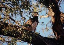 Ein Kampfadler (Polemaetus bellicosus), die grösste Adlerart Afrikas (Länge: 1 m, Flügelspannweite: 188 - 260 cm), entdeckt auf dem Weg nach Kasane, verzehrte einen Waran. Kampfadler fangen auch junge Impalas, Ducker, Klippschliefer und Erdmännchen.