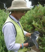 Unsere Tochter Sarah durfte auf ihrer Reise in Westaustralien einige Tage an einem Forschungsprojekt über Zwergpinguine (Eudyptula minor) mitmachen. Auf Granite Island darf man diese kleinste Pinguinenart keinesfalls stören. Foto: Sarah Althaus