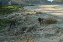 Die einzigen zwei Besucher an diesem unberührten, menschenleeren Strand waren zwei Östliche Graue Riesenkängurus (Macropus giganteus).