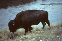 Der Bison ist das größte Landsäugetier Amerikas. Bullen können ein Gewicht von bis zu 900 kg erreichen und sind so fast doppelt so schwer, wie ausgewachsene Kühe. Die Schulterhöhe bei männlichen Bisons liegt etwa zwischen 1,67 und 1,86 m. (s. auch USA I).