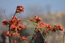 """Ein Pflaumenkopfsittich (Psittacola psyanocephala) pflückt sein Futter (Blüten, Blumen, Nektar) auf einem Malabar-Lackbaum (Butea monosperma). Wegen der Fülle von orangeroten Blüten wird der als heilig geltende Baum auch """"Flame of the forest"""" genannt."""
