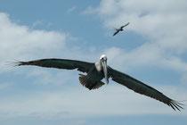 """Zu den """"Opfern"""" der Fregattvögel (hier im Hintergrund) gehört auch der Braune Pelikan (Pelecanus occidentalis), der sich im Sturzflug ins Wasser stürzt, um seine Fische zu erbeuten. Auf den Galapagosinseln lebt die Unterart Pelecanus o.urinator."""