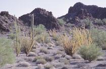 Ocotillo (Fouquieria splendens) ist eine der auffälligsten Pflanze im Anza Borrego Desert State Park, besonders, wenn die Zweige dieses mindestens 1m 80 hohen Strauches über und über mit flammend roten Blüten bedeck sind.
